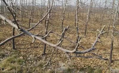 苹果树冬剪有早晚,实战图解助丰收